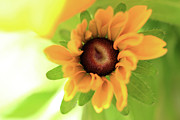 Debbie Hartley - Black Eyed Susan