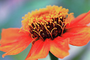 Debbie Hartley - Zinnia
